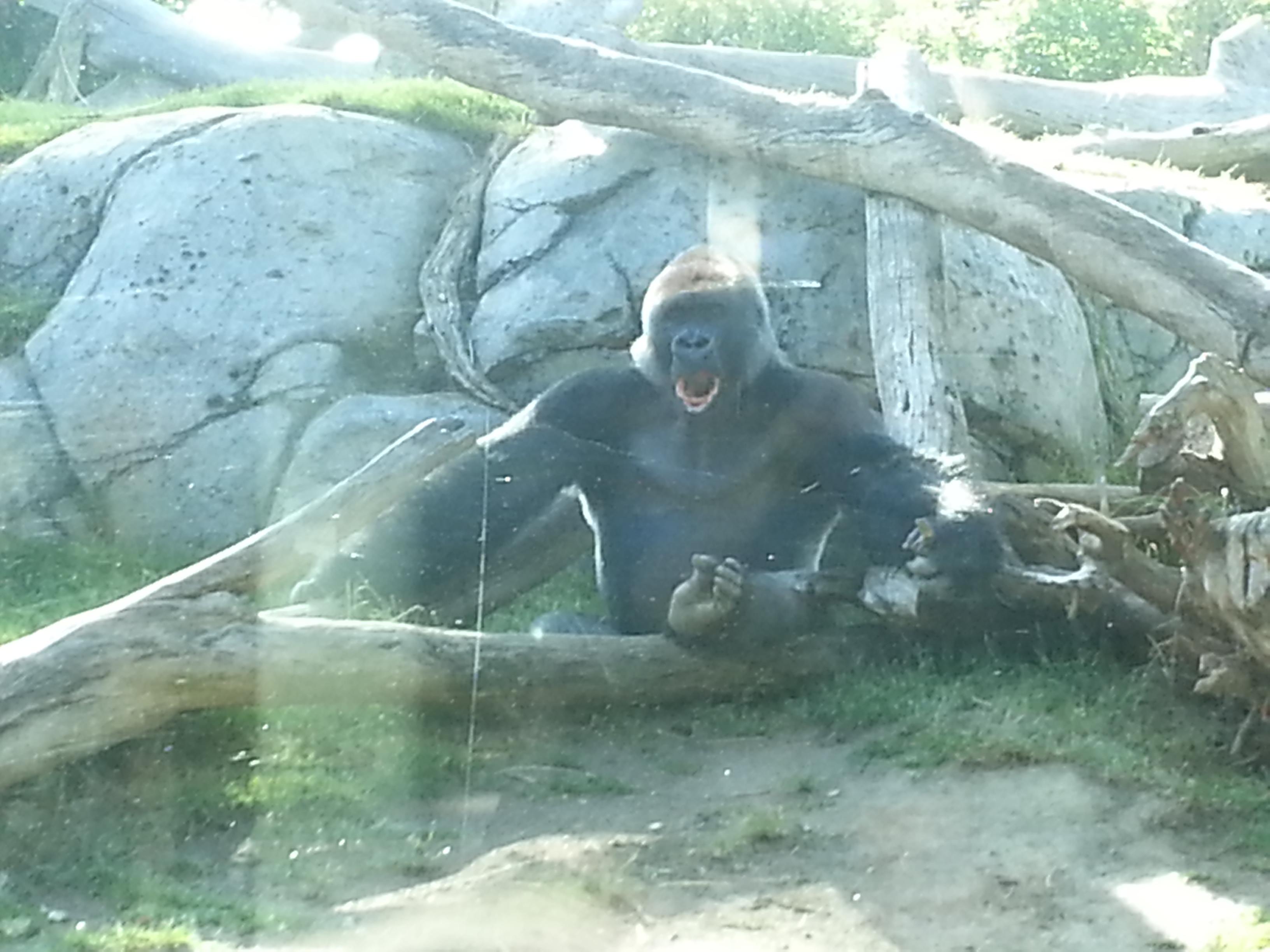 Silverback Gorilla (San Diego Zoo)