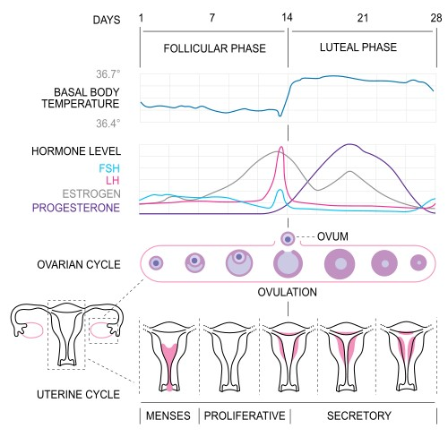 Menstrual-cycle1