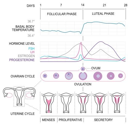 Menstrual-cycle1