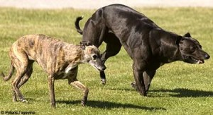Normal whippet vs. myostatin-deficient whippet