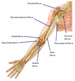 A relationship between the nerve branches of the upper extremity: